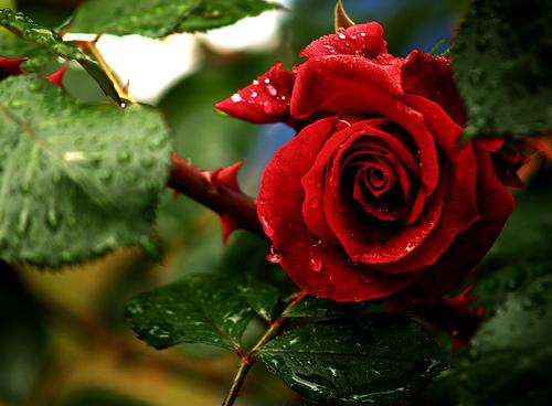 rosas-e-espinhos